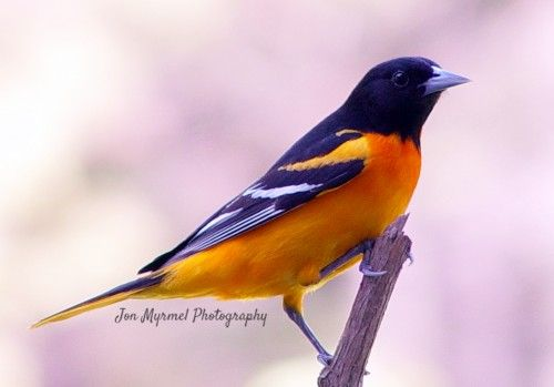 how to attract birds to your backyard baltimore oriole animal