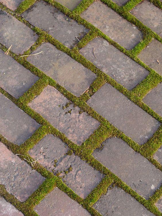 Ceratodon purpureus growing between bricks, ground cover