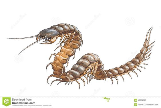 Photo Collection The Centipede Lovely Wow
