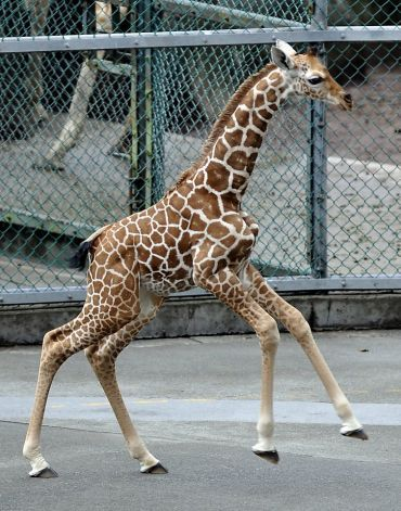 This picture taken on August 21, 2011 shows a baby giraffe running in her enclosure at Tama Zoological Park in Tokyo . The baby giraffe was born on August 6 at the zoo. AFP PHOTO / KAZUHIRO NOGI (Photo credit should read KAZUHIRO NOGI/AFP/Getty Images) Photo: Kazuhiro Nogi, AFP/Getty Images / SF