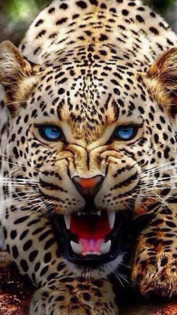 Angry Leopard Brilliant blue eyes flashing - Big Cats