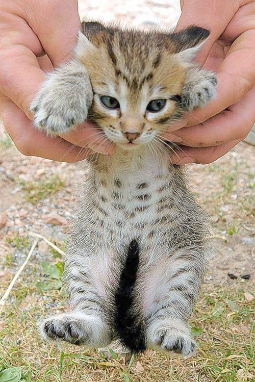Cute Animals To Draw And Easy Like Adorable Siberian Kittens For Sale Uk Toward Cute Animals Pictures To Color And P Kittens Cutest Cute Cats Animals Beautiful