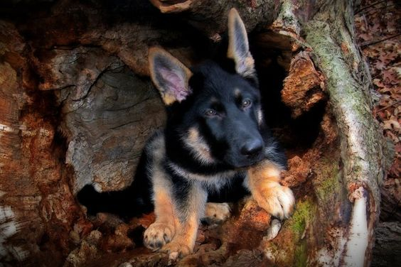 My possible future puppy