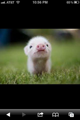 Piggi