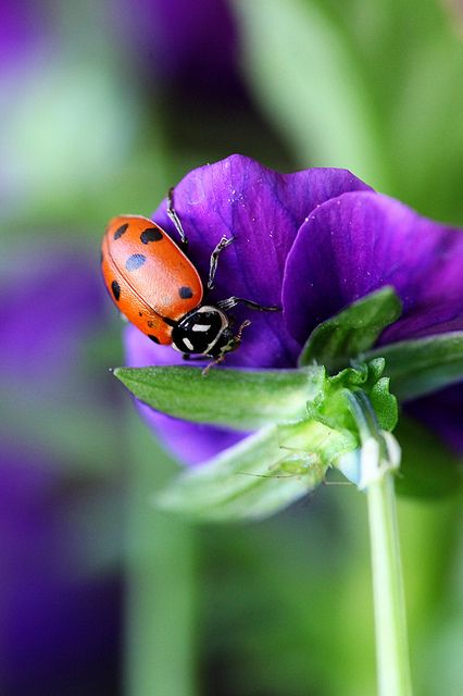 ♀ Bokeh photography red ladybug purple flower in the garden MARIQUITA O SARANTONTÓN¡ que bonitos son.......al parecer cada vez existen menos........: