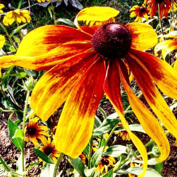 #rudbeckia #ulubionekwiaty #elegancja #przyroda #rudbekia #flowermagic #favouriteflowers #nature
