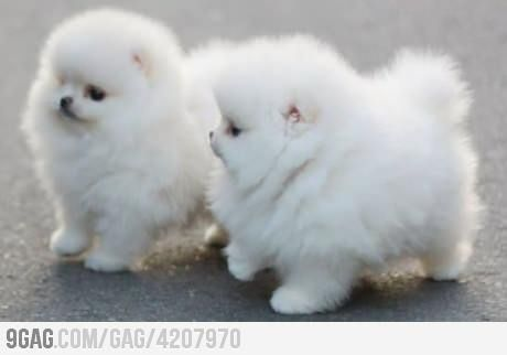 Pomeranians are so beautiful! (I have two of these little fluff buttons and I luv um like crazy)