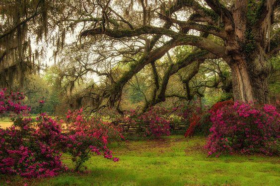 El Viejo Roble. Magnolia Plantation, Charleston, Carolina del Sur (by Linda Kane Brinckerhoff)