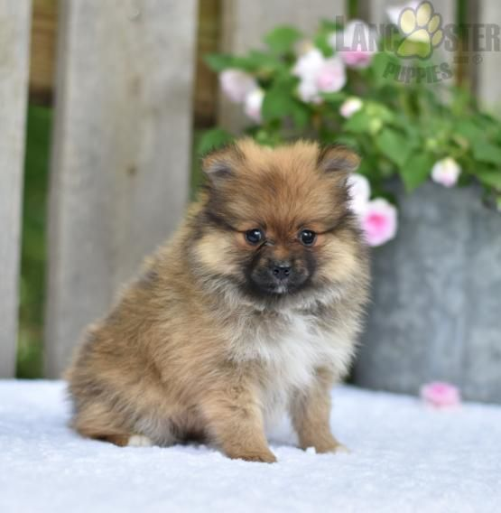 Princess In 2020 Pomeranian Puppy Puppies Pomeranian Puppy For Sale