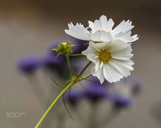 White wild flower by Ibolya Szebeni on 500px