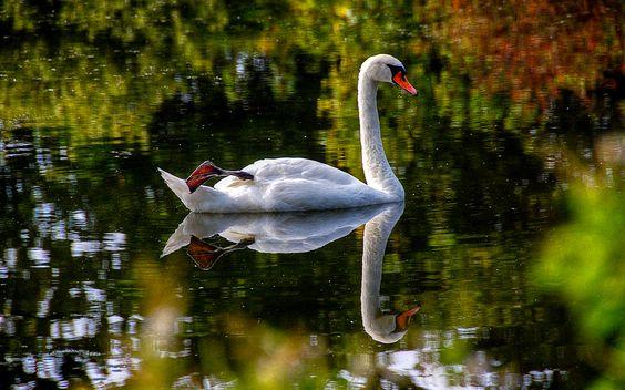 A Swan Swims