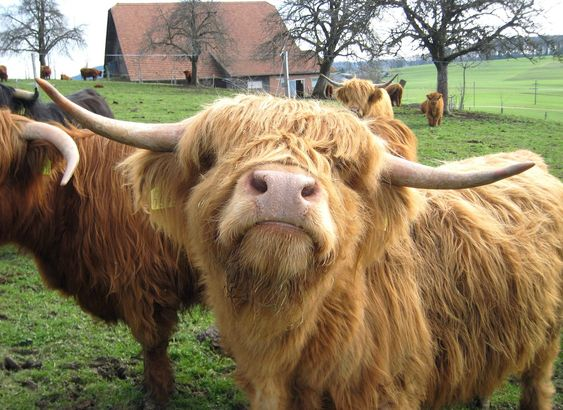 highland cows (hairy coos) - The 64 most stunning pictures of Scotland.. EVER - Scotland Now