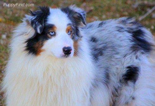 Mini Aussie Puppies So Gorgeous Aussie Puppies Mini Aussie
