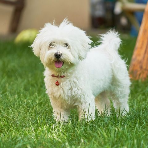 Cute Dog Breeds Like A Maltese That Won T Shed All Over Your House In 2020 Dogs Cute Dogs Breeds Cute Dogs