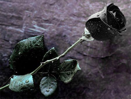 Resultado de imagem para rosas pretas