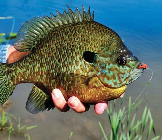 Big slab bluegill like this brute can take your afternoon for Bluegill fishing bait