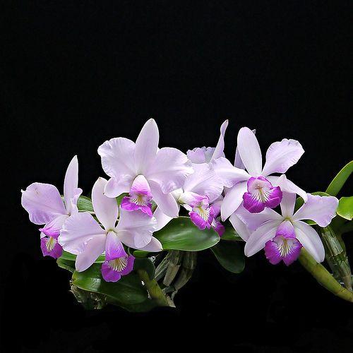 The Left Side Cattleya Memorial Chuang Wen Hsien Cattleya Violacea Semi Alba Icabaru X Nobilior Semi Alba 2 Beautiful Orchids Orchids Cattleya