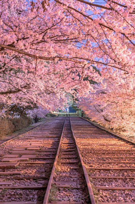 Cherry Blossoms Kyoto Japan By Wasabitool Cherry Blossom Wallpaper Scenery Landscape