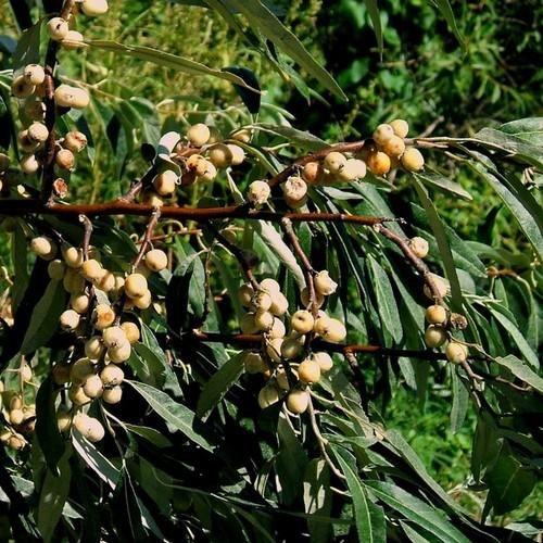 Russian Olive Tree Seeds Elaeagnus Angustifolia 5 Seeds Russian Olive Tree Tree Seeds Deciduous Trees