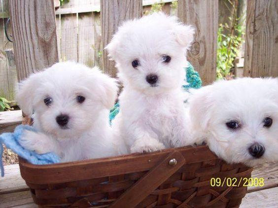 They Are Soooo Precious 3 Maltese Puppy Maltese Puppies For Sale Maltese Dogs