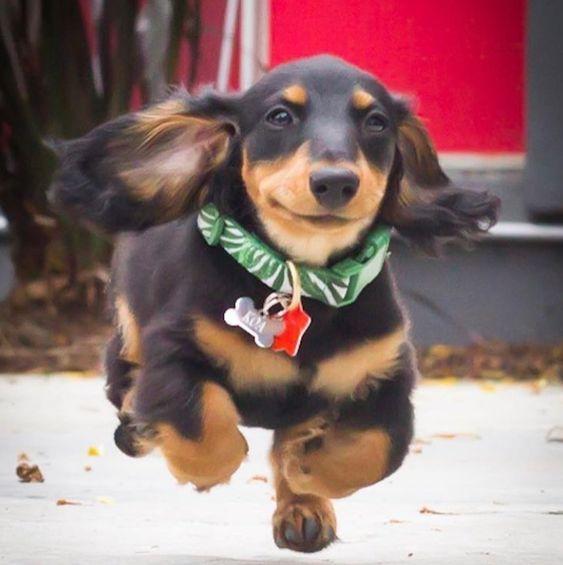 Flying Dachshunds Weenie Dogs Sausage Dog Dachshund Love
