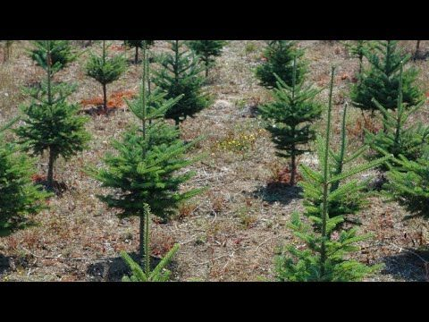 How To Start A Christmas Tree Farm Youtube In 2020 Tree Farms Christmas Tree Farm Tree