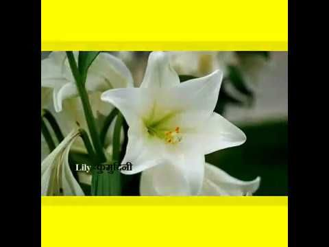 Peaceful Flower Name In Hindi And English प सफ ल फ ल क न म ह द और अ White Lily Flower Types Of Flowers Lily Flower
