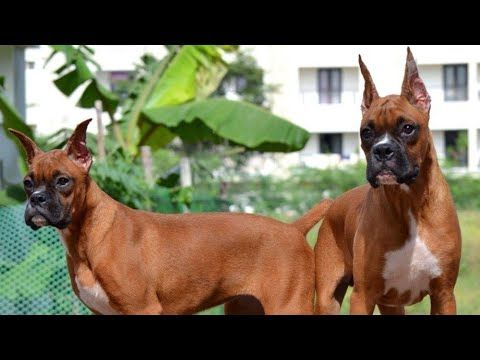 Boxer Puppies For Sale In Delhi Boxer With Kci Kennel Club Of India Certification Youtube Boxer Puppies