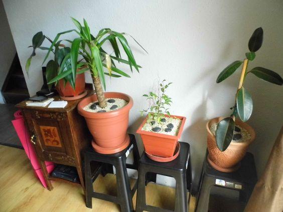 plantas de interior palo de agua ficus gomero