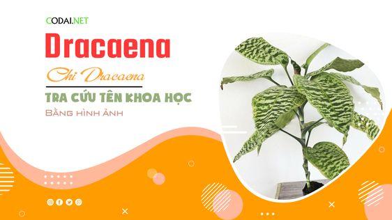 Tra cứu tên khoa học của các loài cây thuộc chi Dracaena bằng hình ảnh