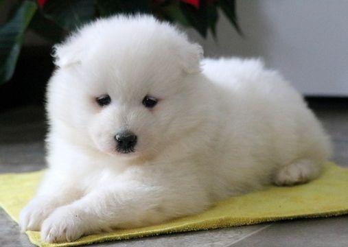 Samoyed Puppy For Sale In Mount Joy Pa Adn 58212 On Puppyfinder