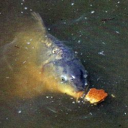 Schwimmende Köder zum Oberflächenfischen.  Das #Fischen an der Wasseroberfläche ist etwas Faszinierendes, welcher Schwimmende Köder sich für das #Oberflächenfischen am besten eignet, erfahren Sie hier  http://www.angelstunde.de/schwimmende-koeder/