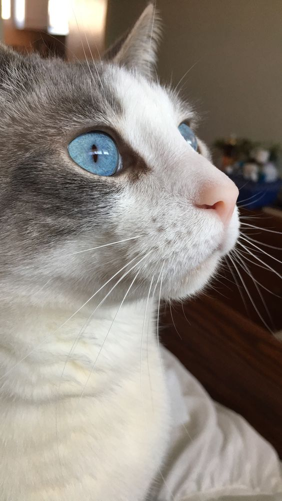 Photo Contest Bright Blue Eyes Cats Grey Cats