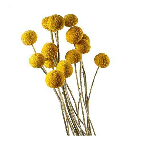 30 Stems Pcs Dried Natural Craspedia Flowers Billy Button Https Www Amazon Com Dp B0751964dx Ref Cm Sw R Pi Dp U Billy Buttons Dried Flowers Dried Floral