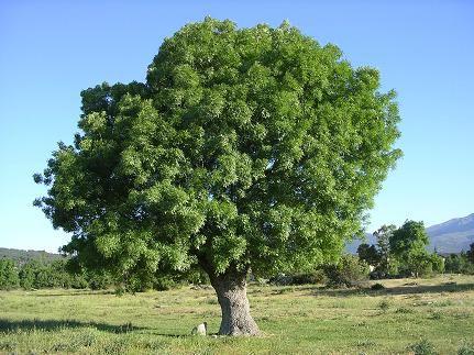 Fresno common tree arbol de fresno comun trees for Arbol comun