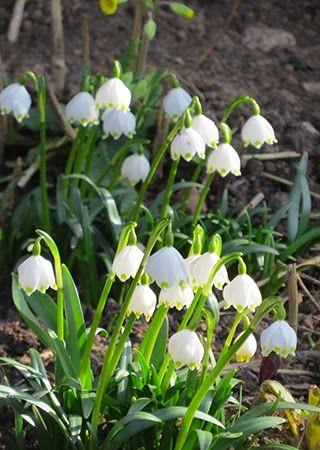 -neuer Gartentraum-Märzenbecher