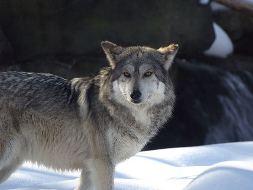 Mexican Wolf 02 01 2009 24 Mexican Wolf Animals List Of Animals