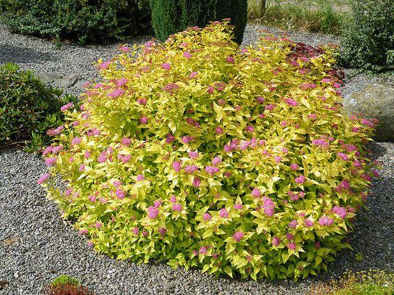 Goldmound spirea zone 3 h 12 24 h 24 36 full sun dense for Small flowering shrubs for full sun