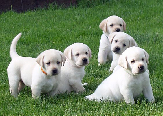 Cold Creek Farms Specializes In Producing Yellow Lab Puppies