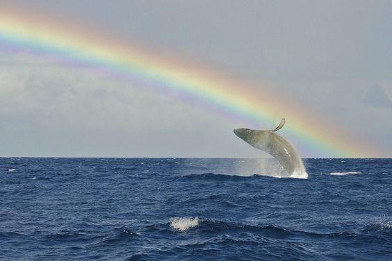 For the Rainbow Collector.: Humpback Whale, God, Hawaii Hawaiiwhalewatching, Beautiful Rainbows, Amazing Animals, Animals Rainbow, Amazing Rainbows, Beautiful Things