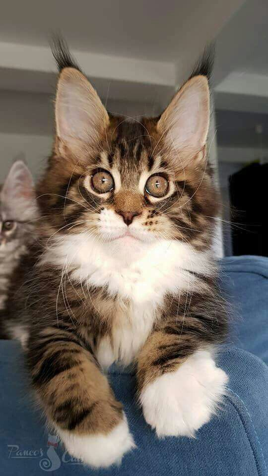 Maine Coon Cat For Sale South Africa