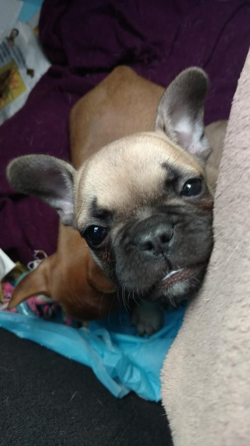 French Bulldogs Akc Registered Everything You Want In A Frenchy