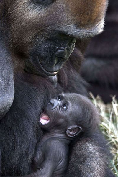 A newborn gorilla, named Ameli, rests in the arms of her mother, Anya. Picture: Jack Guez.  (Gorillas comprise the eponymous genus Gorilla, the largest extant genus of primates by size. They are ground-dwelling, predominantly herbivorous apes that inhabit the forests of central Africa).