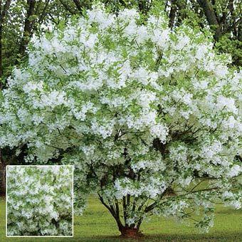 Grancy 39 s greybeard hardy ornamental tree hardy to zone for Hardy flowering trees