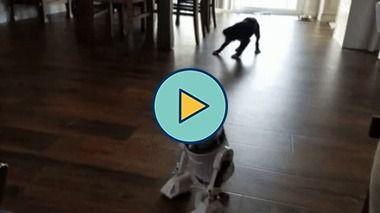 o cão não gostou muito desse robô