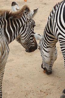 Zebra - stripes