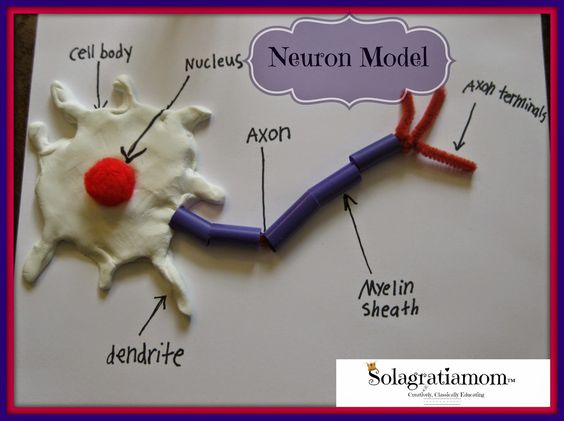 Neuron model and nervous system experiments for CC Cycle 3 Week 4!: