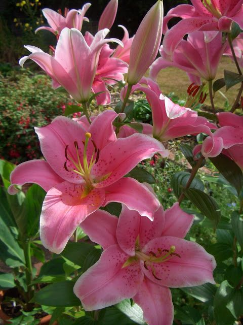 Pink Lilies #flower: