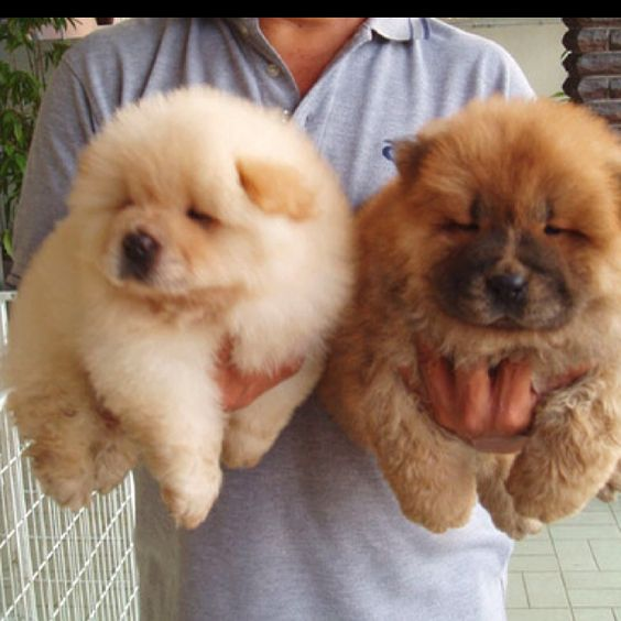 Chow-chow, puppies. #dogs #animal                                                                                                                                                      Mais