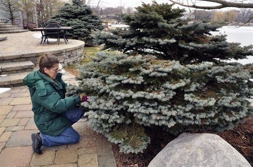 How to prune a globe spruce to control size